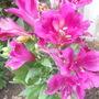 Alstroemeria Inca Azure