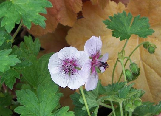 Geranium Lambertii Swansdown - For Geraniumdad & Spritz (Geranium lambertii)