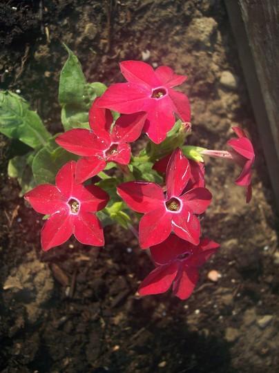 Tobacco plant (Nicotiana 'Hummingbird Red')