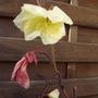 oenothera 'apricot delight' Evening Primrose