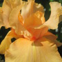 Millenium Sunrise (Iris germanica (Orris))