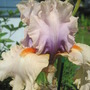 another view of Opposing forces (Iris germanica (Orris))