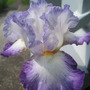 Conjuration (Iris germanica (Orris))