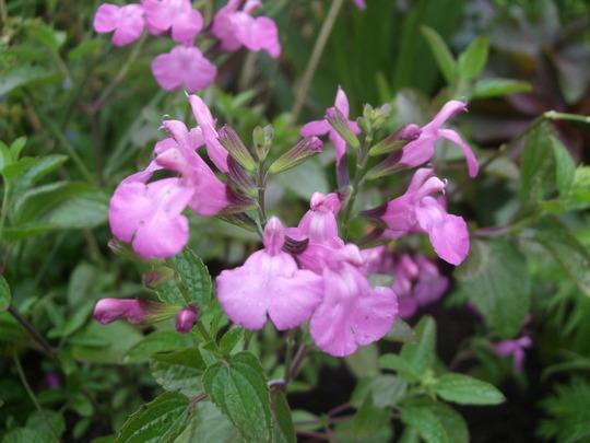 Salvia microphylla 'Trenance Lilac Pink' (Salvia microphylla)