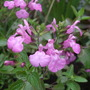 Salvia microphylla 'Trenance Lilac Pink' (Salvia microphylla)
