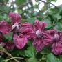 Clem_vit_purpurea_plena_flora