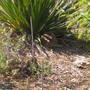 Yucca hare