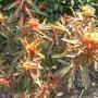 Euphorbia_griffithii_fireglow_