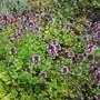Thymus vulgaris (Garden thyme) (Thymus vulgaris (Garden thyme))