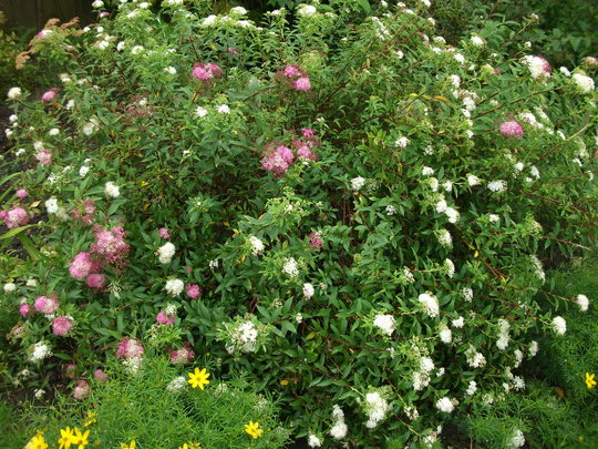 Spirea shirobana - I have 2 of these because I love the red pink and white all on the same shrub (Spiraea japonica 'shirobana')