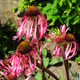 Echinacea pallida (Echinacea pallida)