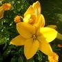 Yellow Lily and Calendulas