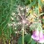 Seed head 'Alium christophe'