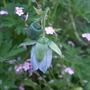 Codonopsis cardiophylla (Codonopsis cardiophylla)