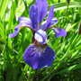 Iris (Iris versicolor (Amerikan Suseni))