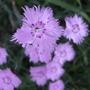 Bath Pinks (Dianthus 'Bath's Pink')