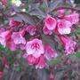Weigela blooms (Weigela florida 'Foliis Purpureis')