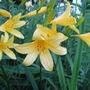 Daylillies (Hemerocallis)