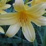 Yellow Daylily (Hemerocallis)