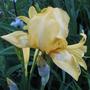 Yellow Iris (Iris pseudacorus (Yellow Flag))
