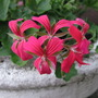 Ivy geranium minicascade Red