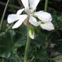 Pelargonium 'Patriot White'
