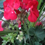 Pelargonium 'Sassy Dark Red'