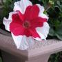Red & White Petunia