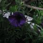 Calibrachoa Dark Blue