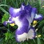 Iris (Iris 'Loop de loop')