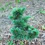 Pinus parviflora 'Brevifolia' (Pinus parviflora)