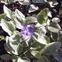 Periwinkle is in bloom (Vinca minor (Lesser periwinkle))