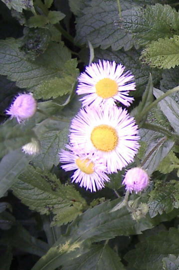 Pink Asters (Erigeron annuus)