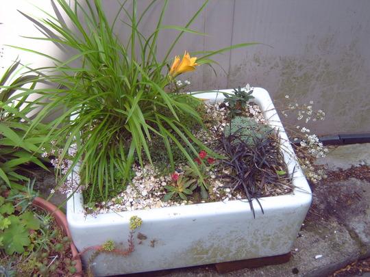 Dianthus deltoides Flashing Light  (Dianthus deltoides)
