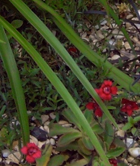 Dianthus Deltoides Flashing Light 2  (Dianthus deltoides)