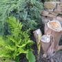Woodwardia_fimbriata_giant_chain_fern_