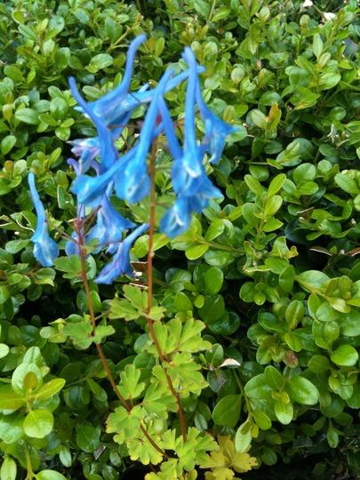 Corydalis elata (Corydalis elata)