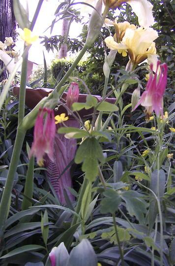 A garden flower photo (Aquilegia canadensis (Canadian Columbine))