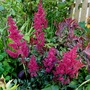 Astilbe Arendsii Fanal (Astilbe arendsii (Astilbe Colour Magic))