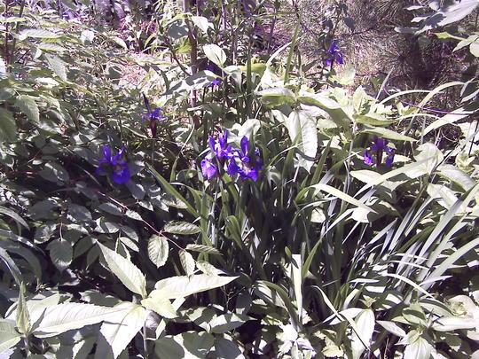 Iris in back garden (Iris versicolor (Amerikan Suseni))
