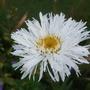 For Seaburn - Leucanthemum 'Aglaia' (Leucanthemum x superbum (Shasta daisy))