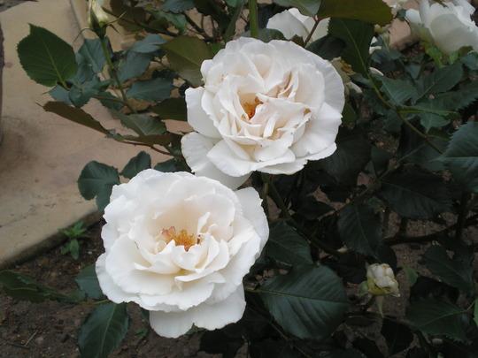 My favourite Margaret Merrill Roses