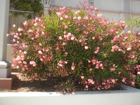 Nerium oleander - Salmon Oleander (Nerium oleander - Salmon Oleander)