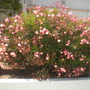 Nerium oleander - Salmon Oleander (Nerium oleander - Salmon Oleander)