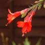 Californian Fuchsia (Zauschneria californica (Californian fuchsia))