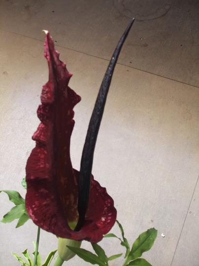 stinking lily (Dracunculus vulgaris (Dragon arum))