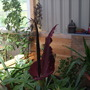 lily stinking out my shed!!!!!!!!!!1 (Dracunculus vulgaris (Dragon arum))