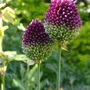 Allium Sphaerocephalon  (Roundheaded Leek) (Allium sphaerocephalon (Round-headed leek))