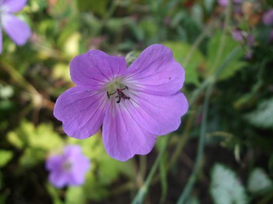 Geranium wallichianum 'Shocking Blue' (Geranium wallichianum)