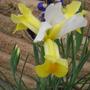 yellow summer flowering iris